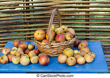 fresh apples in the garden
