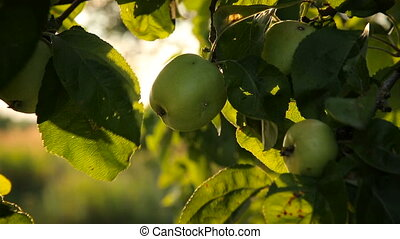 Fresh apples on a branch in the garden