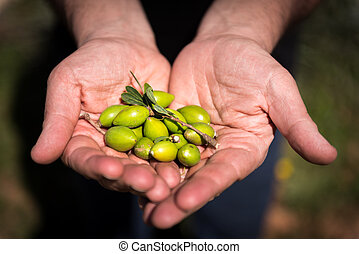 Fresh Argan fruits - Fresh argan fruits just picked up from...