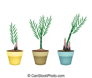 Fresh Bamboo Plants in Ceramic Flower Pots