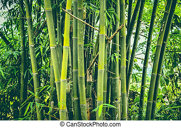 Fresh bamboo tree in the jungle bamboo forest