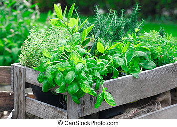 Fresh basil growing in crate - Fresh basil growing in a ...
