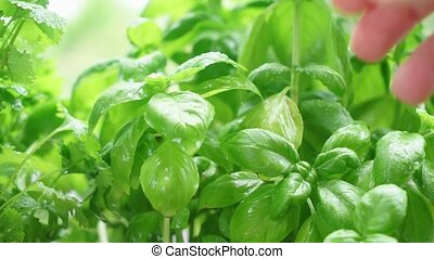 Fresh basil herb - Someone hand picking fresh basil in...