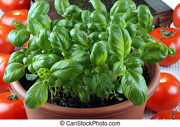 fresh basil in a pot and tomatoes