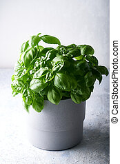 Fresh basil in a pot on a gray stone background Vertical
