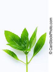 Fresh basil leaves on white