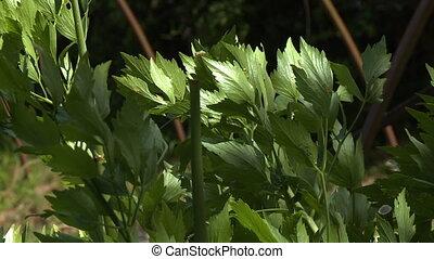 Fresh Basil Leaves - Steady, medium close up shot of fresh...