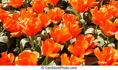 Fresh beautiful large saturated orange tulips flowers bloom...