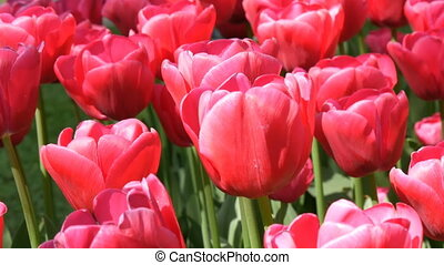 Fresh beautiful large saturated pink tulips flowers bloom in...