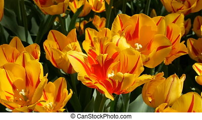 Fresh beautiful large saturated unusual yellow tulips...