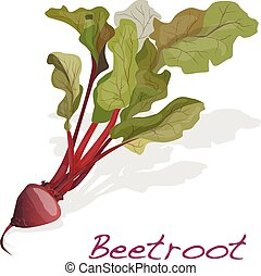 Fresh beetroot with leaves isolated on white. Vector.