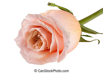 fresh beige rose isolated on white background