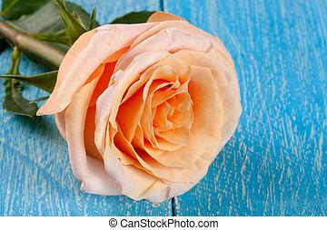 fresh beige rose on a blue wooden background