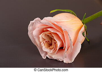 fresh beige rose on a dark wooden background