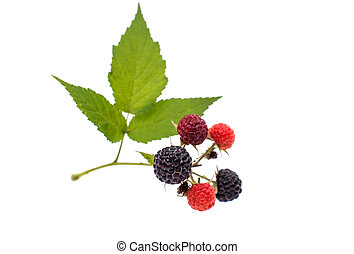 fresh berry blackberry with green leaf