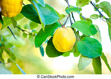 Fresh, bio, sweet and healthy quinces on tree at local farm...