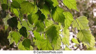 fresh birsh tree leaves moving in the wind