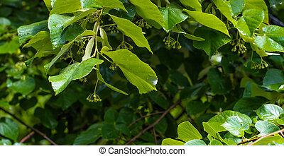 Fresh Blooming Linden Tree