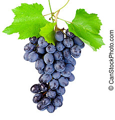 Fresh blue grapes with leaf hanging isolated on a white background