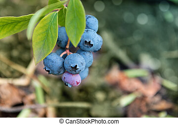 Fresh blueberries with green leaves in the garden.