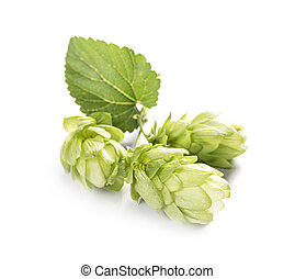 Fresh branch of hops isolated on a white background.