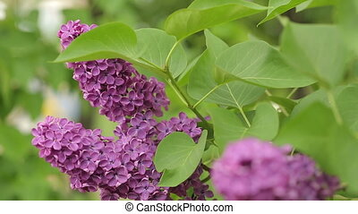 Fresh Branch of Lilac