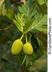 Breadfruit on a tree