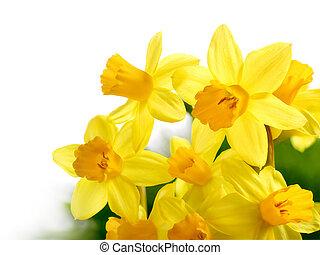 Fresh bright daffodils isolated on white - Bright studio...