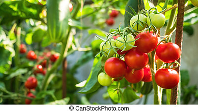 Fresh bunch of red ripe and unripe natural tomatoes growing on a branch in homemade greenhouse. Blurry background and copy space for your advertising text message
