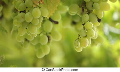 fresh bunches of green grapes in the rain