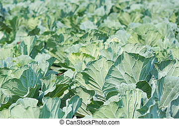 Fresh cabbage in the vegetable garden.