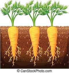 Fresh carrot growing in the field