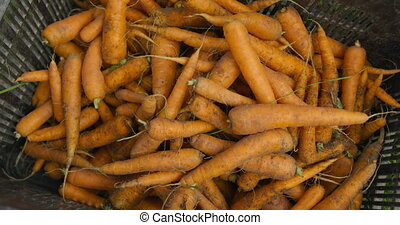 Fresh carrots on organic farm - Close up of freshly pulled ...