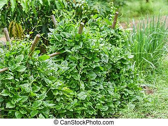 Fresh Ceylon Spinach green plant tree growing on vine in the plantation vegetable garden