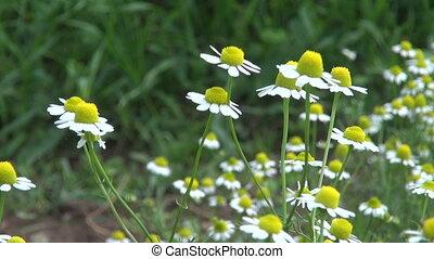 fresh chamomile medical herbs