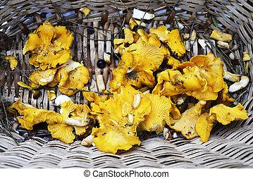 fresh chanterelles mushrooms in a basket