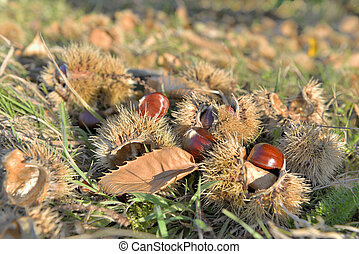 fresh chestnuts on the ground