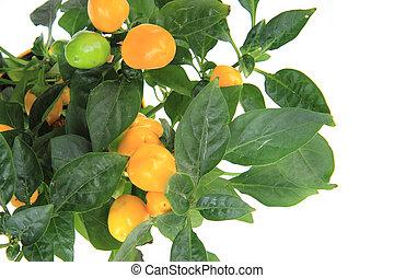 fresh chilli plant