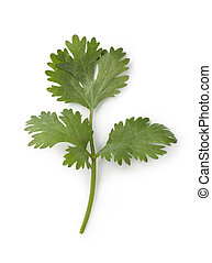 cilantro - Fresh cilantro isolated on white background
