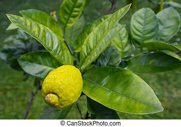 Fresh Citron, Etrog grow on a tree