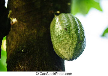 Fresh cocoa pods in growth on the tree