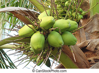 coconut on the tree