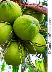 Fresh coconut on the tree