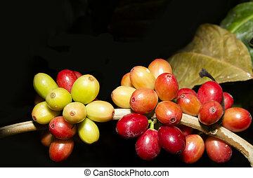 fresh coffee beans on a coffee plant