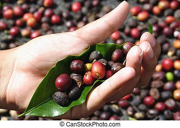 Fresh coffee grains in hand