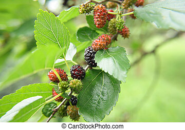 mulberries - fresh color mulberries as natural food ...