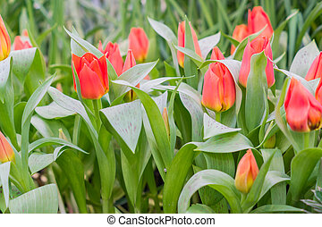 fresh colorful field of red tulips, floral background