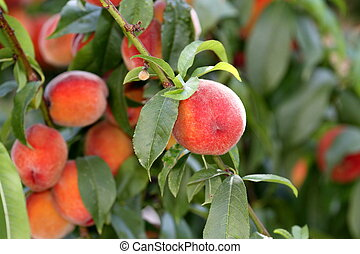 Fresh colorful peaches on a branch with green leaves