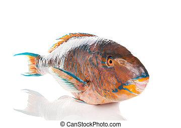 Fresh colourfull Parrotfish on white. - Fresh colourfull...