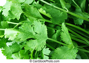 coriander - fresh coriander  background